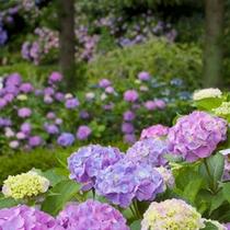 隣接する日本庭園「三景園」のあじさい