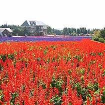 くじゅう花公園のサルビア畑(夏~秋)
