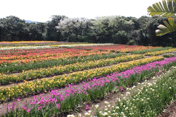 色とりどりに咲き誇るフリージア畑
