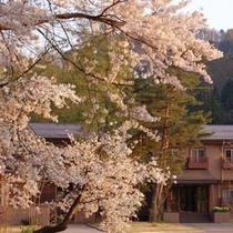【春】米沢の桜の時期は少し遅い4月末〜5月の初め。露天風呂からも桜を楽しめるおすすめの季節