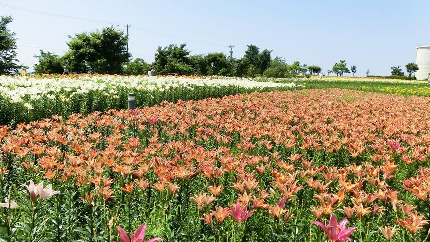 *周辺観光・ユリの里/福井県の県花水仙が1年中見られます!