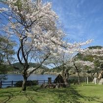 藺牟田池の桜