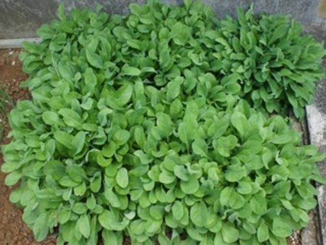 庭先の苦菜