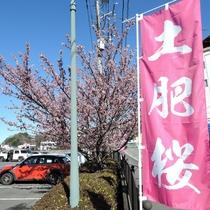 *施設周辺/土肥の春の風物詩、土肥桜。全国でも早咲きの桜として有名です。