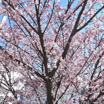 *施設周辺/例年多くのお花見客が観賞に訪れる土肥桜。