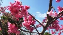 大宜味の桜