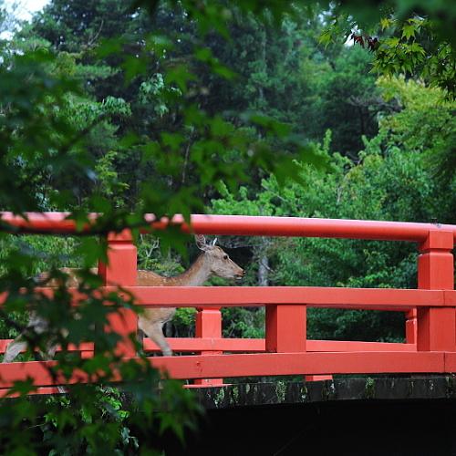 ■もみじ橋と新緑と鹿
