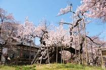 桜の時期は「神代桜」が人気です