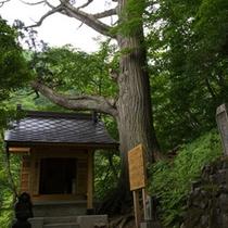 *周辺散策/「薬師神社と見印の杉」温泉を見守り続けてきた御神木です。