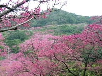 日本一早い桜 八重桜