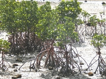 【名蔵湾】自生するマングローブ