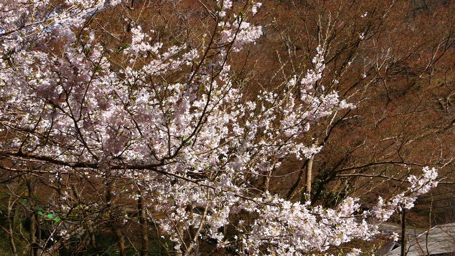 吉野山の桜は世界遺産