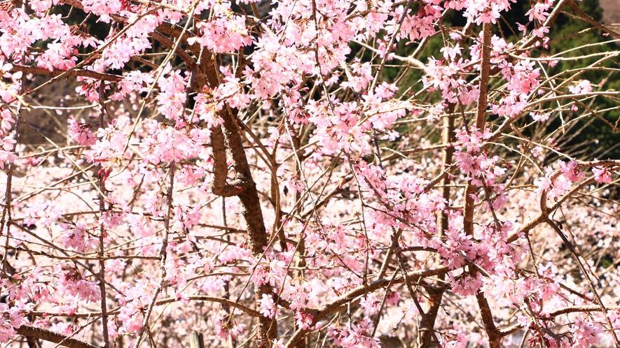 鮮やかな色を魅せる桜