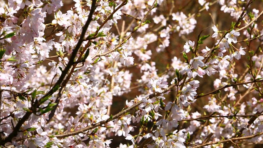 美しい桜が楽しめます