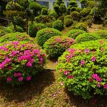 庭園のつつじ 5月中旬に満開の見頃です。