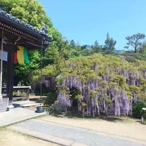 子安地蔵寺の藤棚