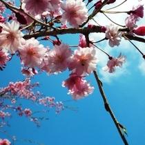春~サクラのイメージ~