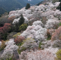吉野山・下千本桜