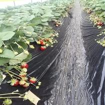 栃木県のイチゴ狩りへどうぞ