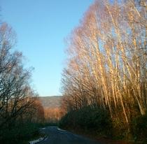 奥志賀高原に通じる旧道。落葉したダケカンバに陽がさして。