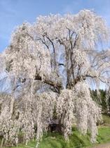 枝垂れ桜〜樹齢250年