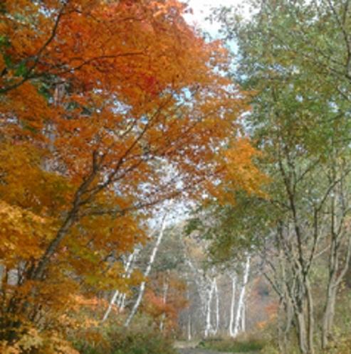 志賀高原、白樺園地。園内も散策できます。