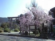 熊野本宮大社 旧社地鳥居と桜