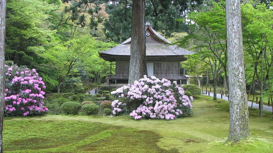 *【春の大原三千院】見事な石楠花がとってもきれいです。