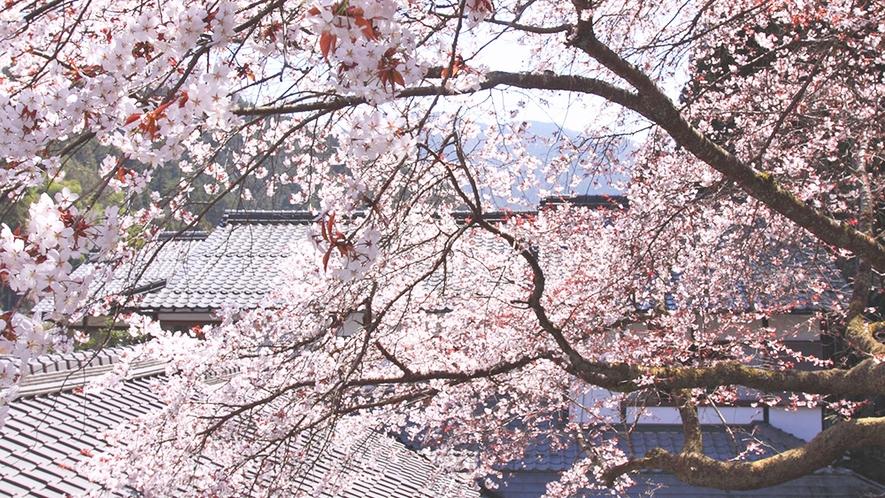 *【春の中庭】中庭の桜を望む