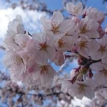 【春の訪れを感じさせてくれる桜】4月中旬~4月下旬が見頃♪