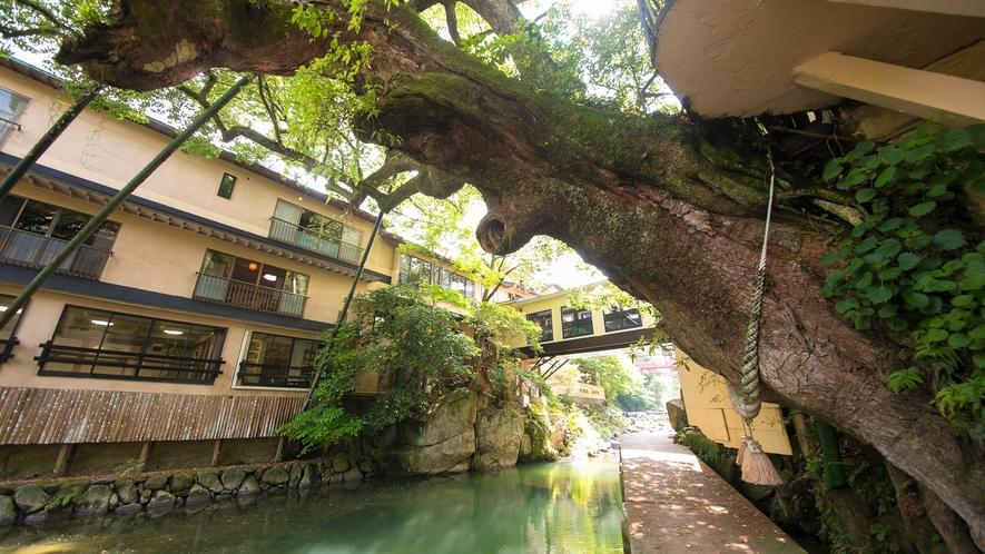 """""""楠の木""""は樹齢800年!館内からもご覧いただけます"""