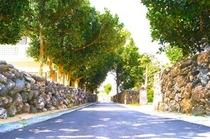石垣作りの塀とフクギ並木