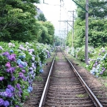 【歳時記(初夏)】あじさい電車に揺られて