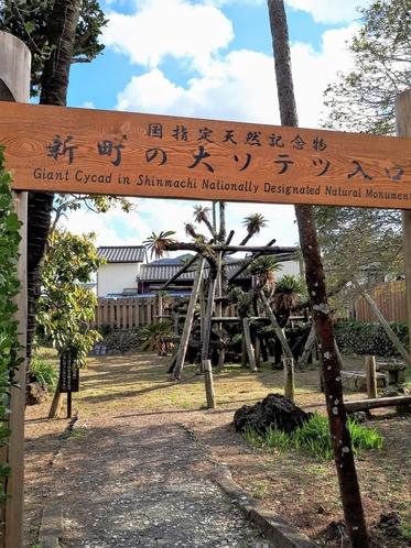 【通年】国指定天然記念物 新町の大ソテツ