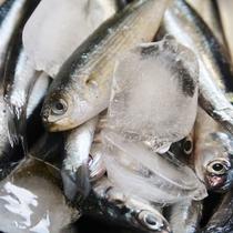 富戸港の定置網で朝採れたピンとした新鮮な小魚