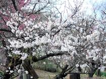 【1~3月】熱海梅園 梅まつり