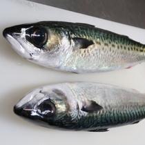 地元・近隣の漁港に朝採れた魚は活きがいいね!