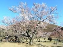 【3月】伊東桜@さくらの里