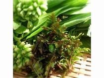 春の山菜たち