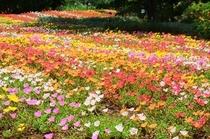 伊豆式の花公園 夏 ポーチュラカ