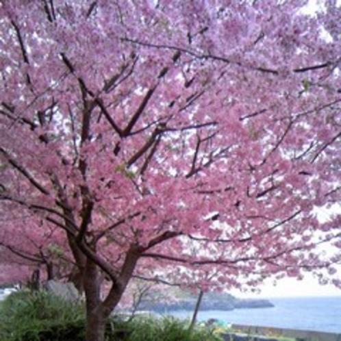 ■城ヶ崎桜