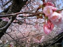 おおかん桜 伊豆高原駅周辺