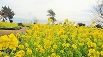 伊豆四季の花公園 菜の花