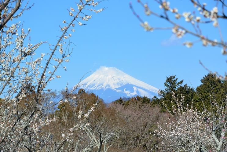 修善寺梅林 富士山と梅 2017年2月21日