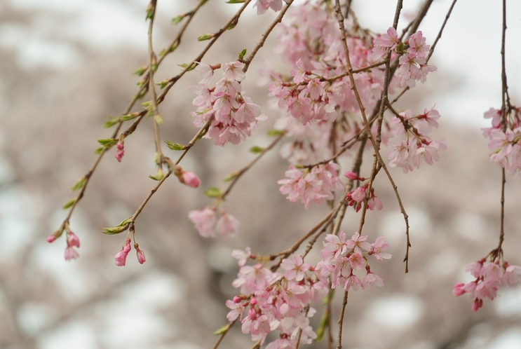 さくらの里 桜