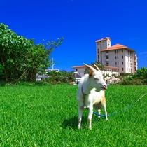 庭で戯れるヤギ