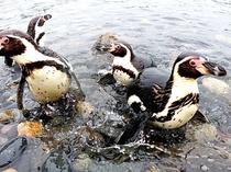 ペンギンの海まで遠足(おたる水族館)