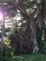 公園にある巨大なアコウの木です。ちょっと登りたい気持ちになりますね。
