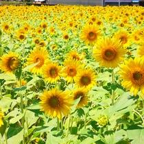 【赤花そばの郷】真夏の但東町では、50万本のひまわりが一面に咲きます。
