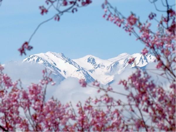 高遠城址のコヒガンザクラから望むアルプスの白き峰々